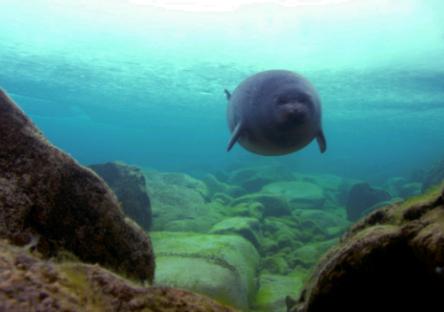 1b - Baikal Seal